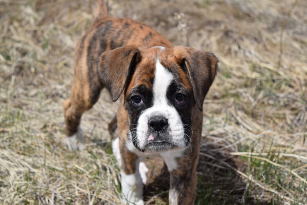 hannah-the-boxer-dog
